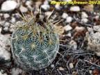 Coryphantha echinoidea, SLPotosi, El Huizache RUS-044