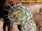 Coryphantha echinoidea, SLPotosi,  La Cardoncita  RUS-411