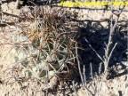 Coryphantha difficilis, Coahuilla,  La Escontida  RUS-401