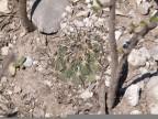Coryphantha cornifera RUS-073, Panalis, Hidalgo