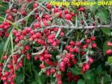 Купить семена Cylindropuntia