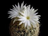 Купить семена Discocactus