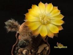 Reicheocactus pseudoreicheanus