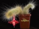 Купить кактус Hildewintera