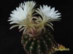 Discocactus silicicola HU 325