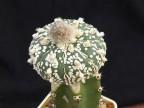 Astrophytum asterias  cv.Super Kabuto