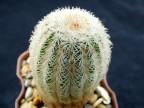 Echinocereus rigidissimus SB155  Nacozari, Son