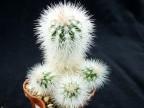 Echinocereus nivosus