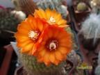 Parodia hummeliana v. cebilarensis n.prov. - LT 273, Cuesta de Lajar 2000 m, red flowers