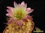 Pyrrhocactus chilensis - WM 045 Los Molles