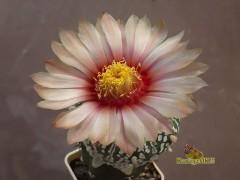 Astrophytum asterias SK cv. 'Losos'