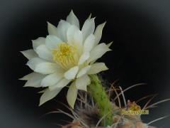 Matucana madisoniorum fa. albiflora
