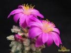 Mammillaria bertholdii RUS - 521, San Pedro Martir, Ouiechapa, Oax