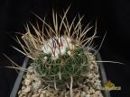 Echinofossulocactus lloydii RS 805, Sombrerette Zacatecas