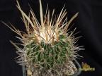 Echinofossulocactus erectocentrus GL89-3