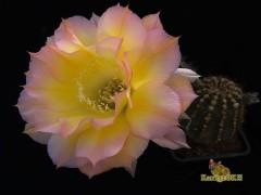 Echinopsis hybrid Arabesque X Дебютантка