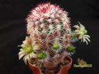 Echinocereus chloranthus v.cylindricus SB 352 Otero Co, NM