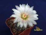 Купить кактус Neochilenia