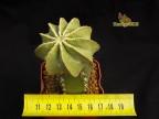 Pediocactus knowltonii SB304