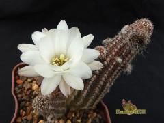 Chamaelobivia cv. Westfield Alba