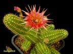 Chamaelobivia hybrid cv. Boom