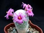 Mammillaria humboldtii RH132 Hgo