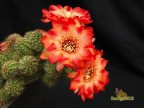 Chamaelobivia cv. COSTANZA