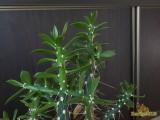 Купить кактус Quiabentia