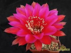 Echinopsis hybrid  Потомок Оракула X Red Paramount