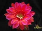 Echinopsis   hybrid Жар Земли