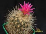 Купить кактус Neoporteria