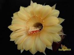 Echinopsis hybrid High Noon X Aurora