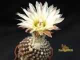 Купить кактус Thelocephala