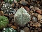 Astrophytum myriostigma 3-costatum