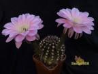 Echinopsis hybrid    Sansibar X Arabesque