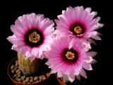 Купить семена Echinocereus