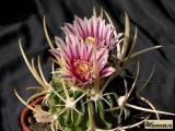 Купить семена Echinofossulocactus (Stenocactus)
