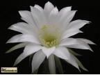 Echinopsis subdenudata - beztrnná, vel.bílé květy