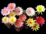 Купить семена Echinopsis hybrid