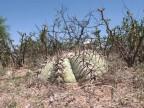 Echinocactus horizonthalonius RUS 174
