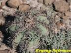 Echinocactus horizontalonius, SL Potosi, La Cardoncita  RUS-411