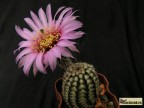Echinocereus albispinus SB 211 Oklahoma