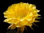 Echinopsis hybrid 'Coquette'