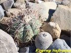 Epithelantha micromeris v. greggii, Coahuilla, Viesca  RUS-400