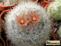 Escobaria chaffeyi - kleine K., St. grauweiss, Bl. blassrosa mit braeunlichem Streifen