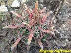Ferocactus latispinus (pink sps) Guanajuato, Mineral de Pozos RUS-001