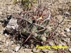 Ferocactus emori, Sonora, Micronda Cerro Altar, RUS-164