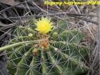 Ferocactus echidne, Tamaulipas, San Antonio RUS-380