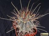 Купить семена Glandulicactus