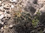 Glandulicactus uncinatus RUS 335